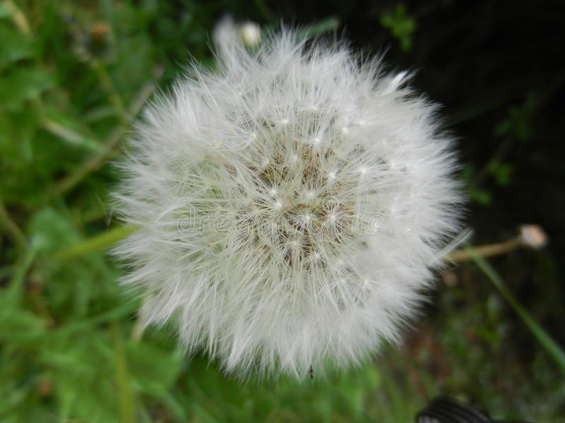 Close up of a dandelion in fall royalty free stock photos