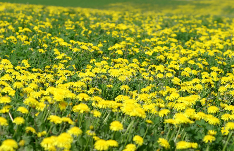 Download Dandelion-Field Royalty Free Stock Photos - Image: 1165578