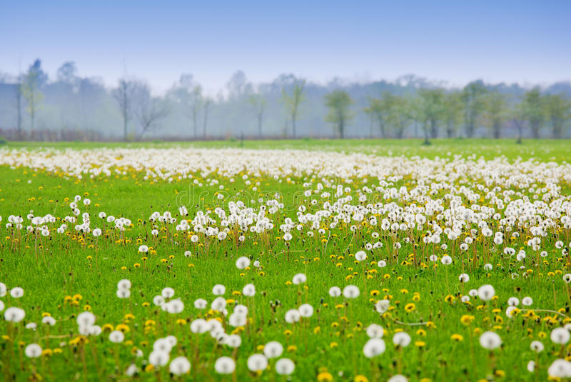 Download Dandelion field stock image. Image of plant, green, yellow - 12721955