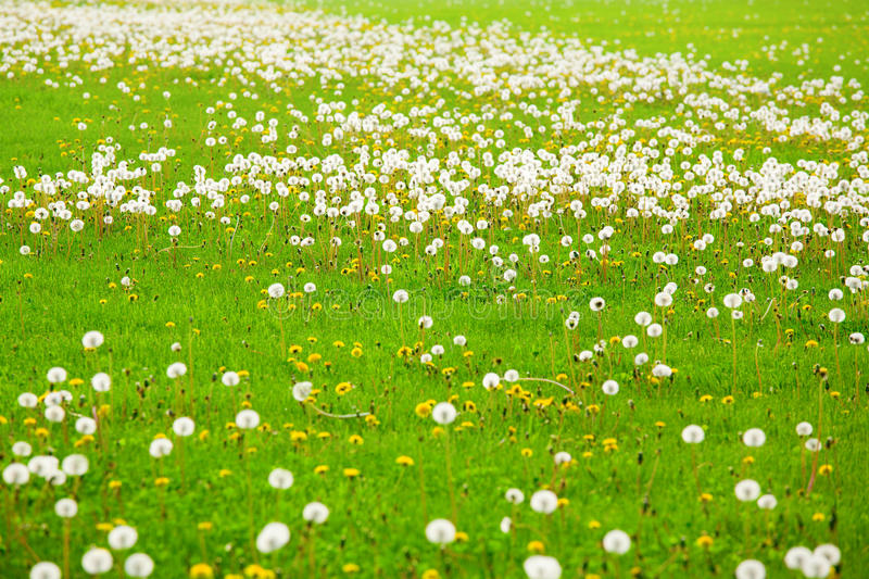 Download Dandelion field stock image. Image of blooming, nature - 12795721