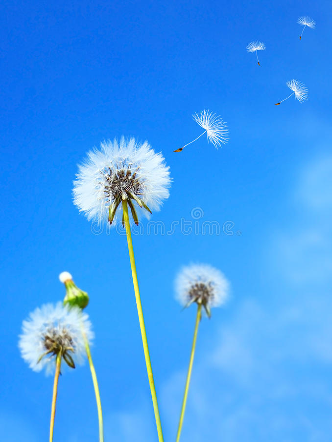 Download Dandelion field stock photo. Image of dandelion, bloom - 18915320
