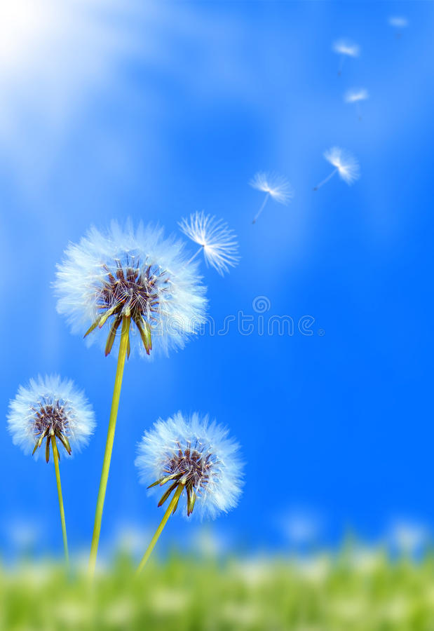 Free Dandelion Field Royalty Free Stock Photo - 20024055