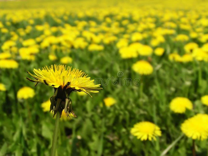 Dandelion field. Spring dandelion field royalty free stock images
