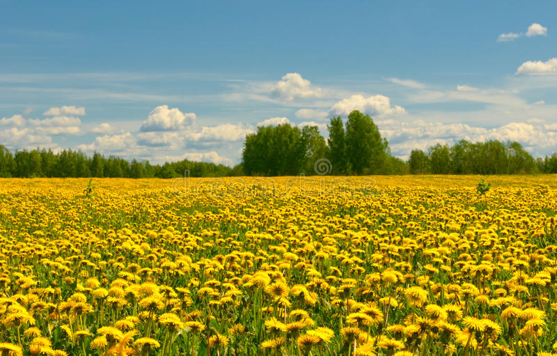 Download Dandelion Field And Blue Sky Stock Photo - Image: 10395170