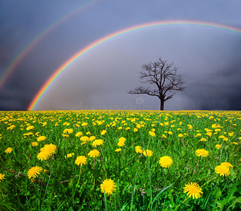 Dandelion field and dead tree under cloudy sky with rainbow stock photography