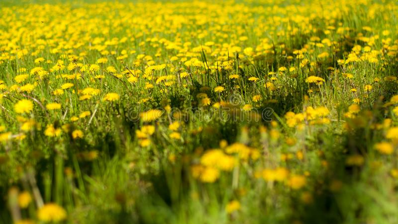 Dandelion field with shadows royalty free stock images