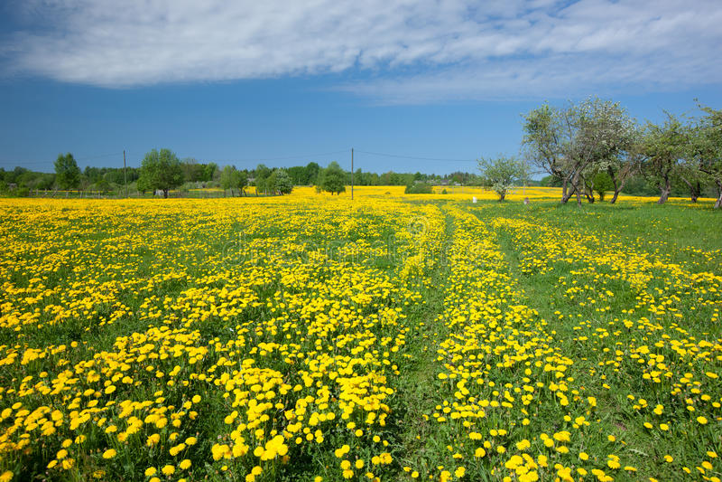 Download Dandelion field stock image. Image of bloom, flower, cherry - 29705455