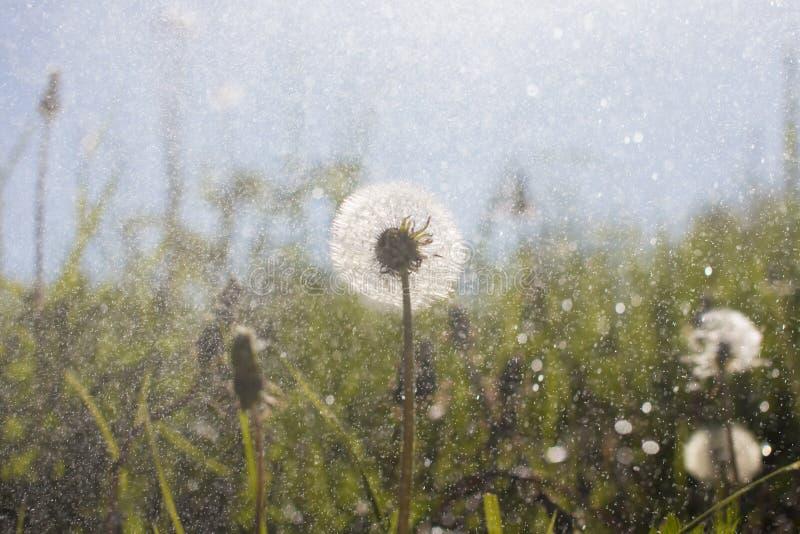 After dandelion field in summer rain. The raindrops closeup. Beautiful bokeh stock images