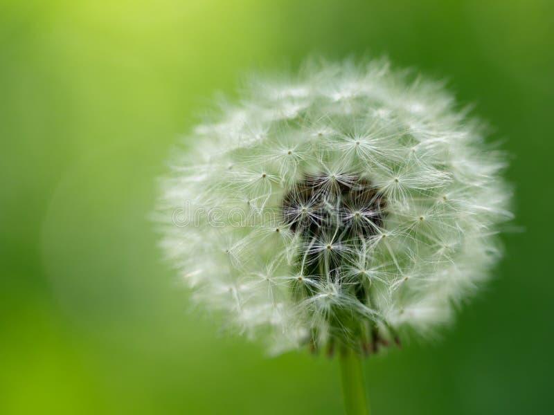 Dandelion flower. On green blur background. Macro closeup royalty free stock photos
