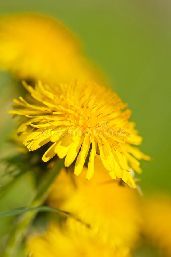 Free Dandelion Flower Royalty Free Stock Photo - 20140645