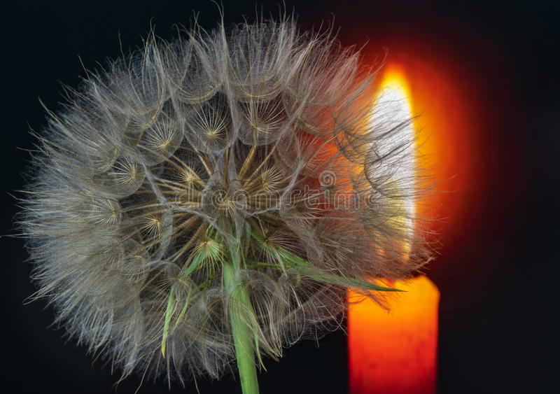 Dandelion flower on a beautiful background stock photography