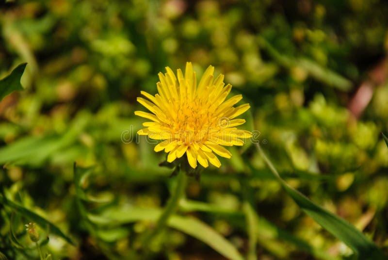 Dandelion Flower. Beautiful dandelion flower before blooming royalty free stock image