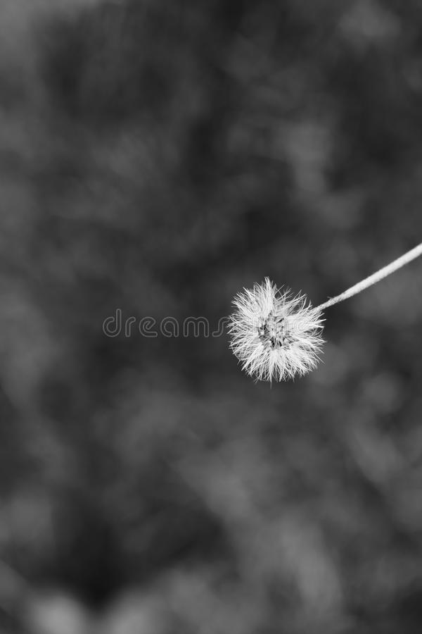 Dandelion flower in black and white royalty free stock photos