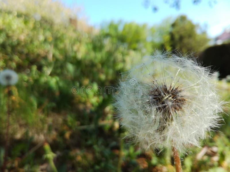 Dandelion flower. Blowball on green grass background. Spring bloom. stock photos