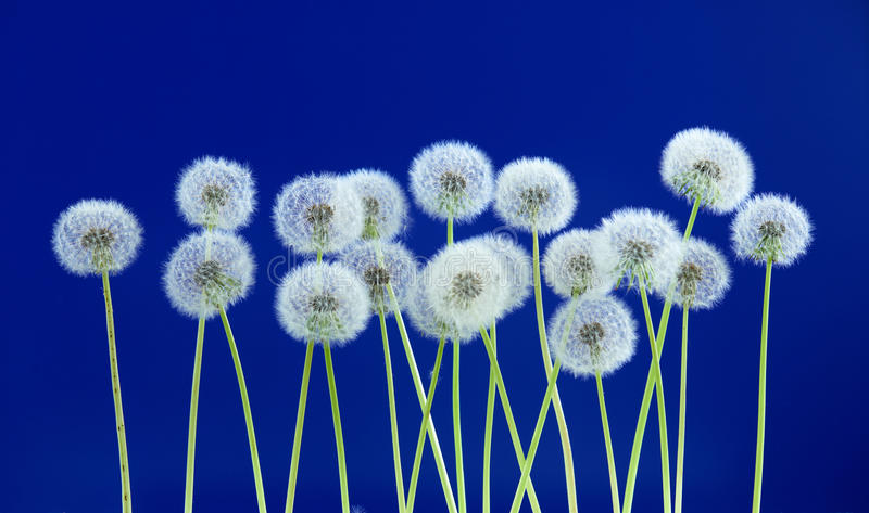 Dandelion flower on blue color background, group objects on blank space backdrop, nature and spring season concept. stock photos