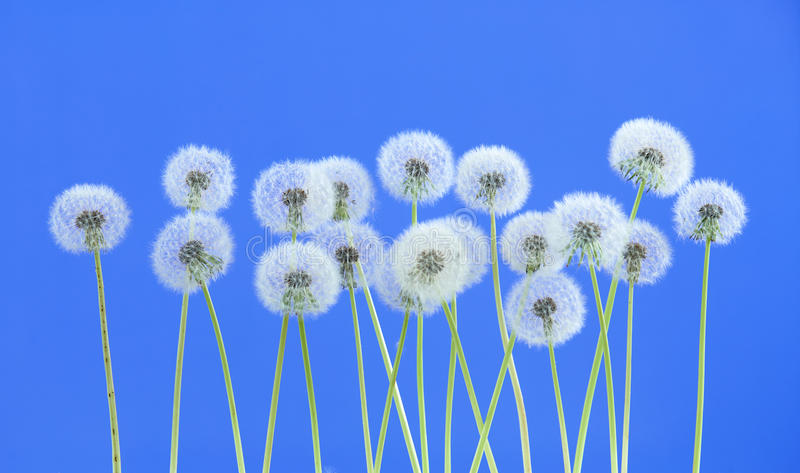 Dandelion flower on blue color background, group objects on blank space backdrop, nature and spring season concept. royalty free stock photos