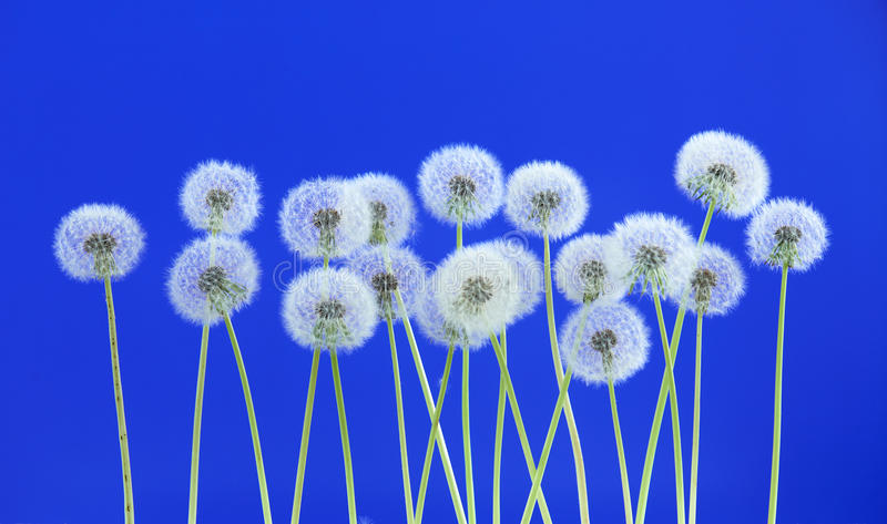 Dandelion flower on blue color background, group objects on blank space backdrop, nature and spring season concept. stock photo