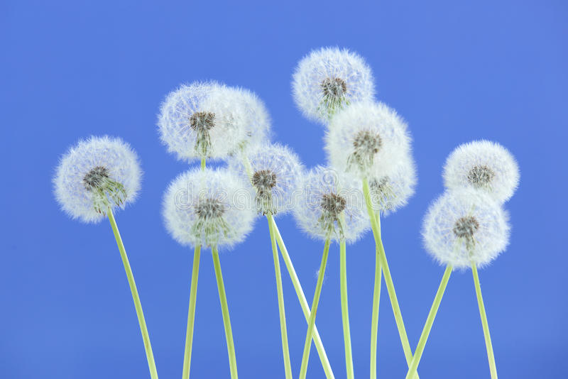 Dandelion flower on blue color background, group objects on blank space backdrop, nature and spring season concept. stock image