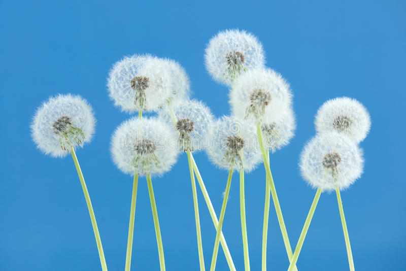 Dandelion flower on blue color background, group objects on blank space backdrop, nature and spring season concept. royalty free stock photography