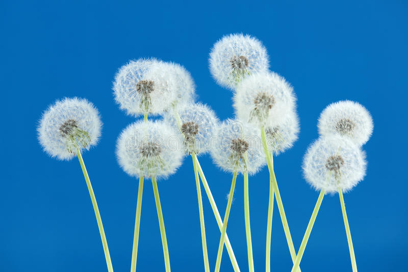 Dandelion flower on blue color background, group objects on blank space backdrop, nature and spring season concept. stock photography