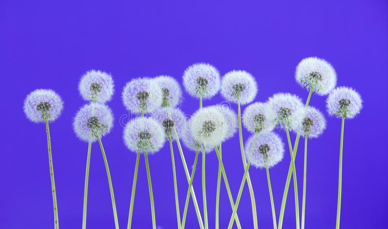 Dandelion flower on blue color background, group objects on blank space backdrop, nature and spring season concept. stock images