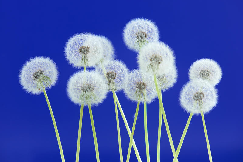 Dandelion flower on blue color background, group objects on blank space backdrop, nature and spring season concept. royalty free stock photo
