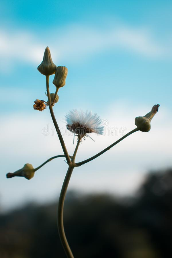 Dandelion flower with blue sky background. royalty free stock image
