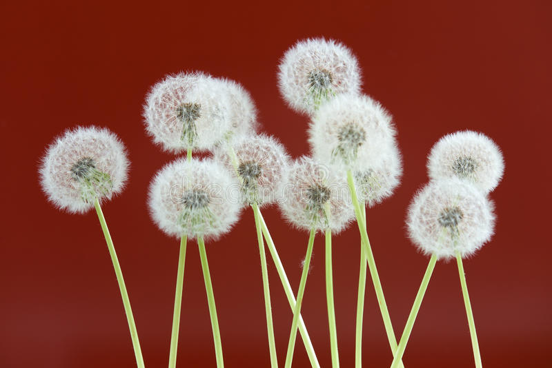 Dandelion flower on brown color background, group objects on blank space backdrop, nature and spring season concept. stock photos