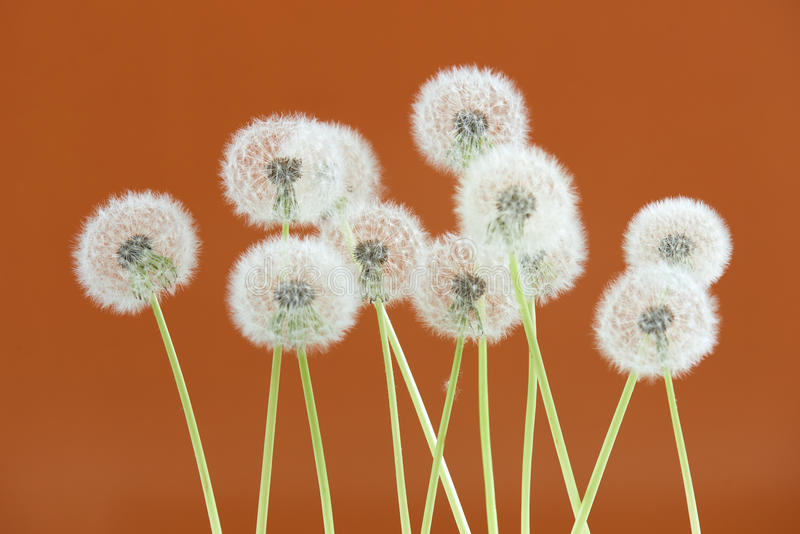 Dandelion flower on brown color background, group objects on blank space backdrop, nature and spring season concept. royalty free stock photography