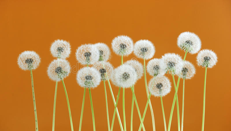 Dandelion flower on brown color background, group objects on blank space backdrop, nature and spring season concept. royalty free stock image