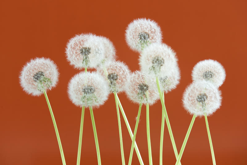 Dandelion flower on brown color background, group objects on blank space backdrop, nature and spring season concept. royalty free stock photo