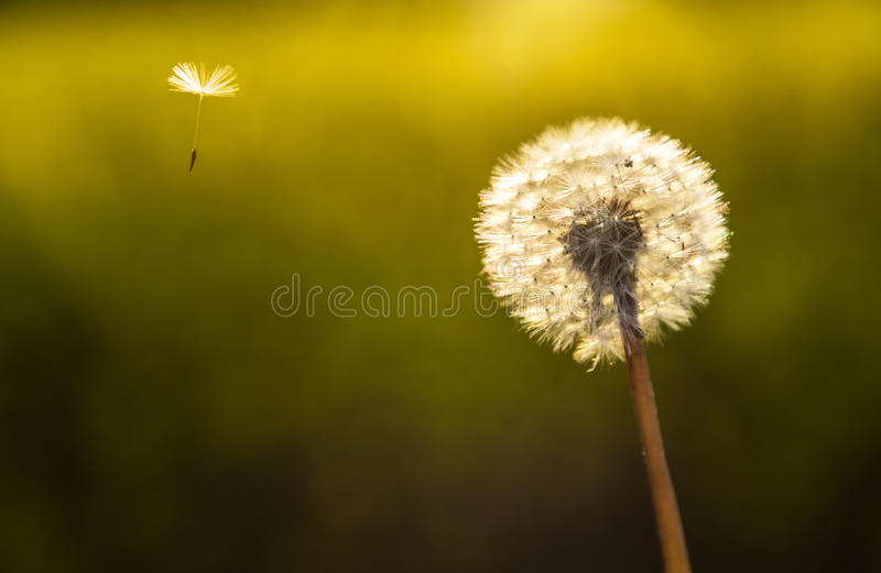 Dandelion Flower Clock and One Seed. Escape explore journey concept photograph of dandelion flower clock with one seed flying away stock images