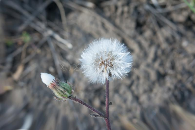 Dandelion flower close-up view from above royalty free stock photos