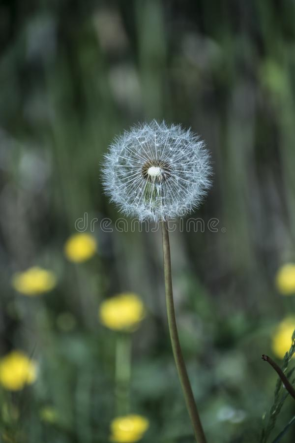 Dandelion flower closeup in spring, bright sunlight, Green grass background royalty free stock photos