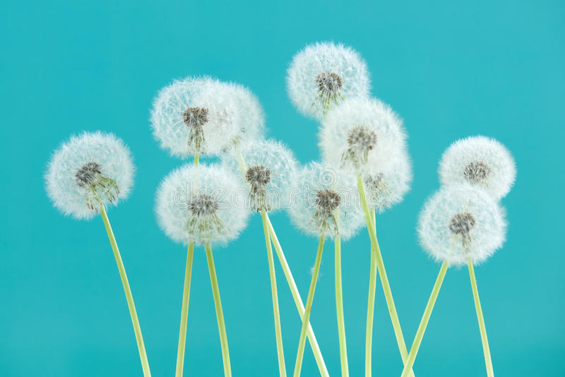 Dandelion flower on cyan color background, group objects on blank space backdrop, nature and spring season concept. royalty free stock photos