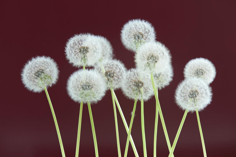 Dandelion flower on dark purple color background, group objects on blank space backdrop, nature and spring season concept. royalty free stock photo