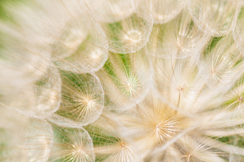 Dandelion flower royalty free stock images