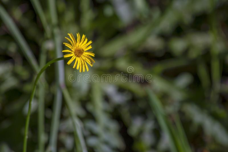 Dandelion flower facing the sun. Close-up photography of a dandelion flower facing the sun at sunset. Captured at the Andean mountains of central Colombia stock photo