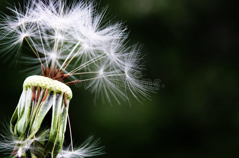 Dandelion, Flower, Flora, Plant stock images