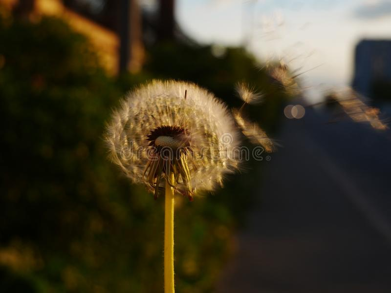 Dandelion flower and flying seeds on wind stock photo