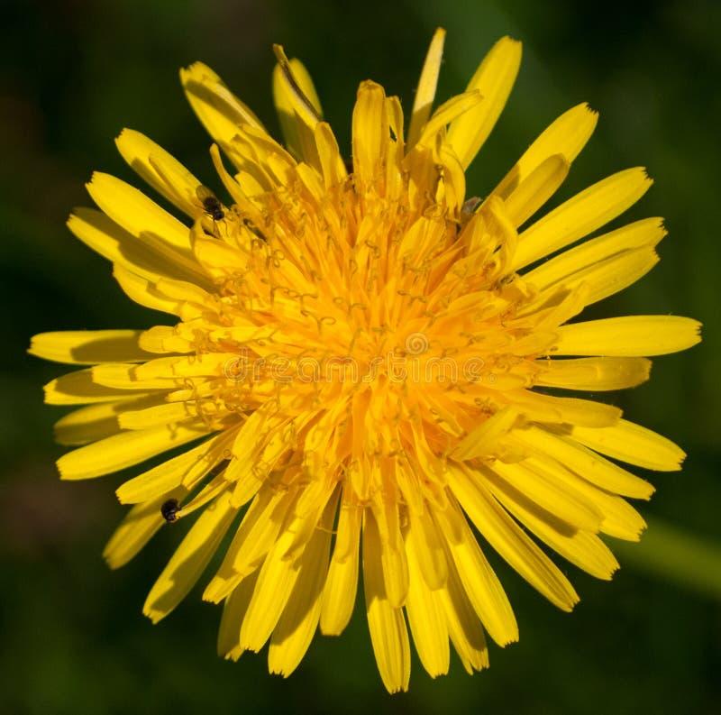 Dandelion Flower Full Frame Macro Photography stock photography