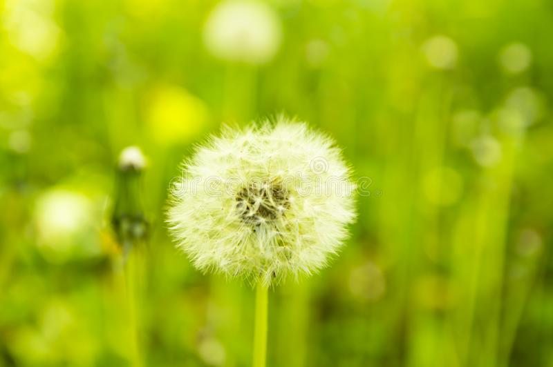 Dandelion flower on a green background of lawn leaves. Background royalty free stock photo