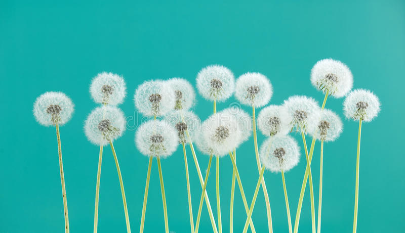 Dandelion flower on green color background, group objects on blank space backdrop, nature and spring season concept. stock images