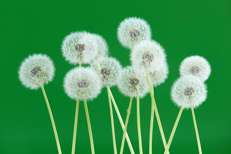 Dandelion flower on green color background, group objects on blank space backdrop, nature and spring season concept. royalty free stock photos