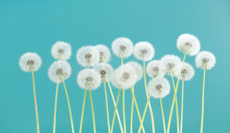Dandelion flower on green color background, group objects on blank space backdrop, nature and spring season concept. stock photos