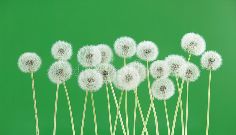 Dandelion flower on green color background, group objects on blank space backdrop, nature and spring season concept. stock photography