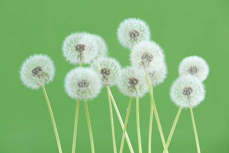 Dandelion flower on green color background, group objects on blank space backdrop, nature and spring season concept. royalty free stock photography