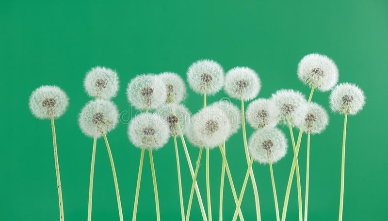 Dandelion flower on green color background, group objects on blank space backdrop, nature and spring season concept. royalty free stock images