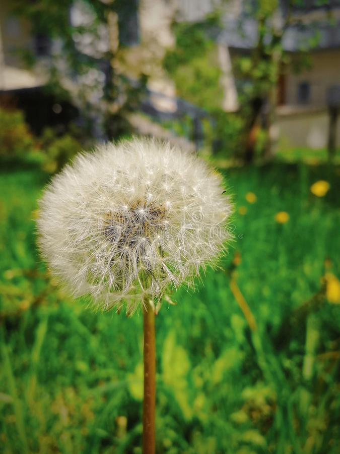 Dandelion flower growing alone on a green lawn near a house in the city. Front view royalty free stock photography