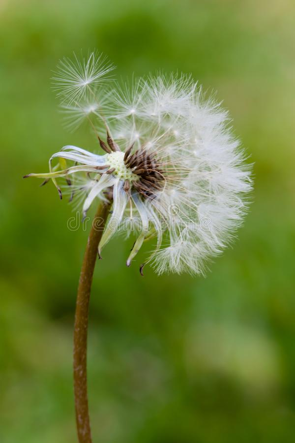 Dandelion flower head releasing seeds close up macro photo with bokeh background out of focus royalty free stock images